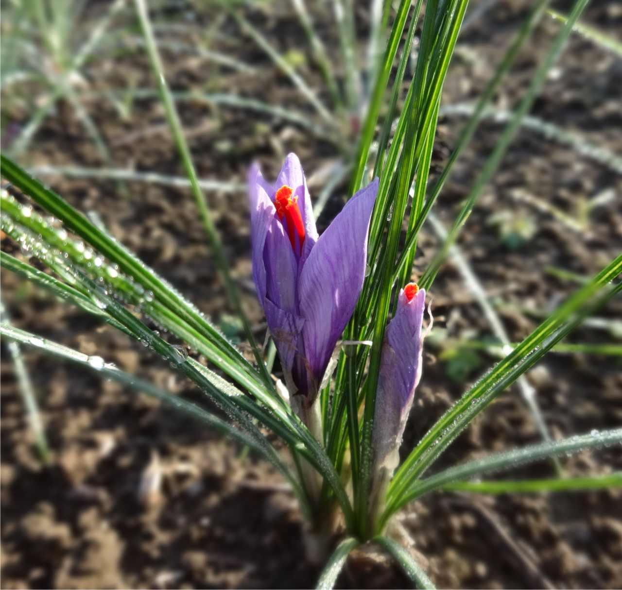 pianta di crocus sativus