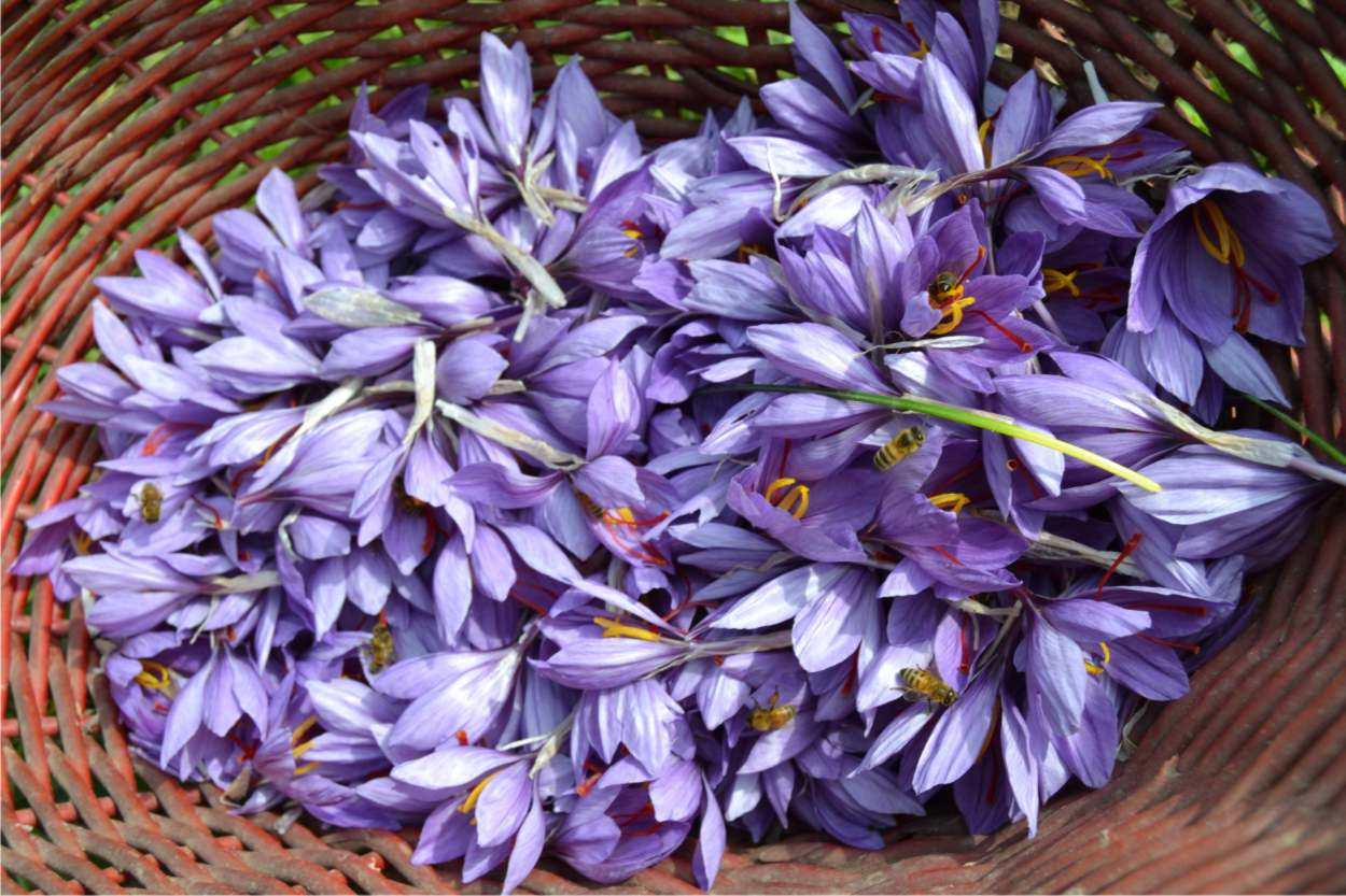 produzione di fiori di zafferano