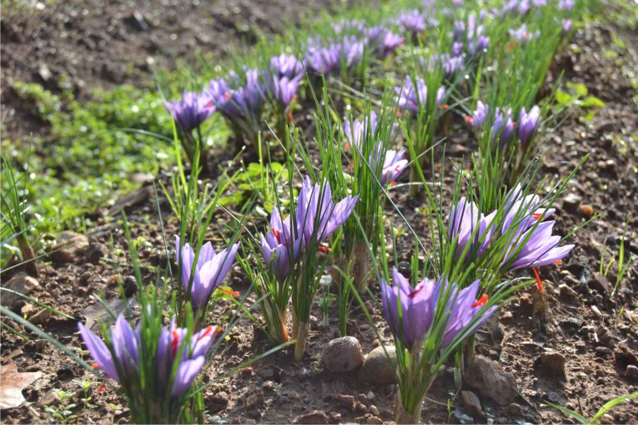 fioritura di zafferano coltivato