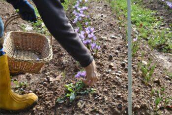 raccolta dei fiori