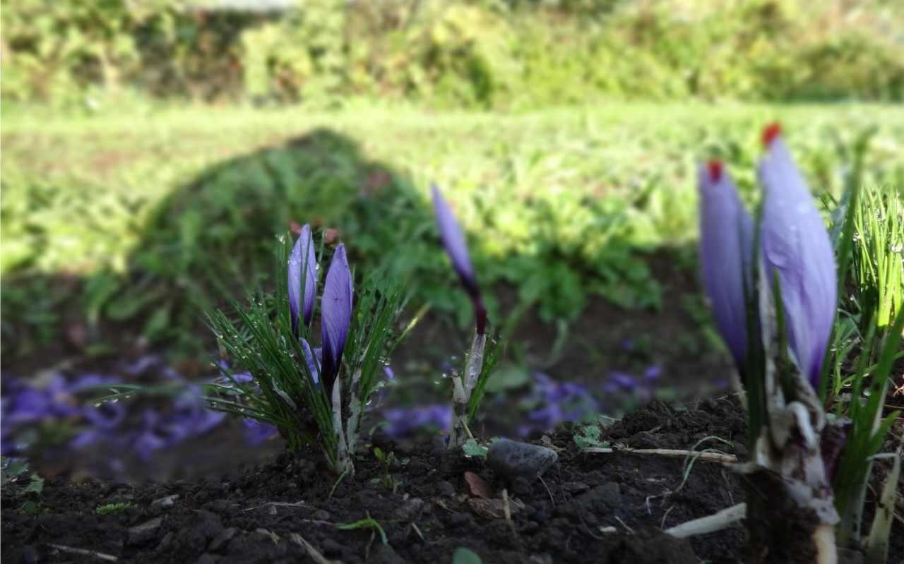 piante in fiore nello zafferaneto