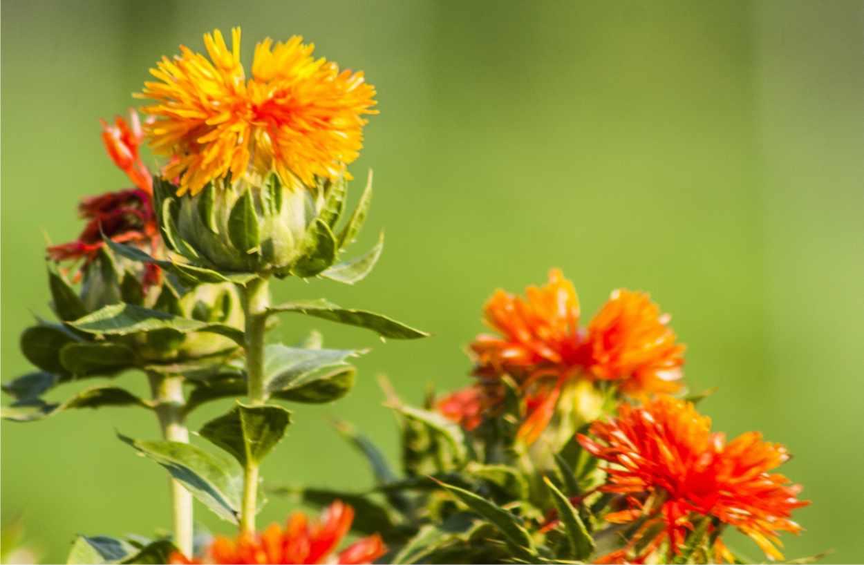 cartamo fiori