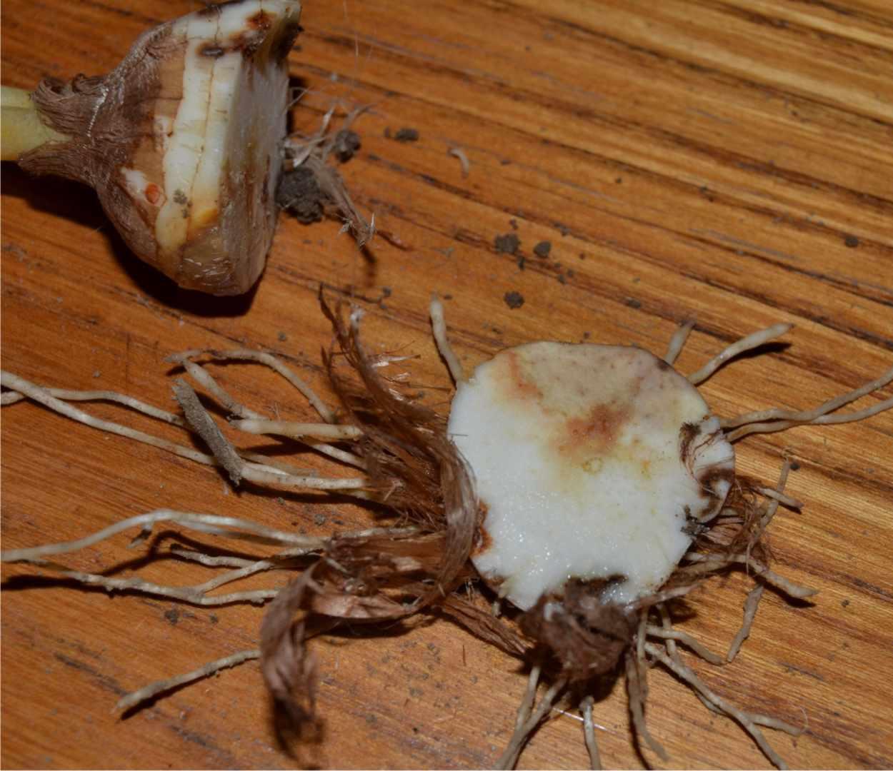 Le malattie della pianta di zafferano 2